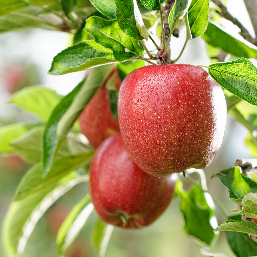 Apfelsorte Braeburn