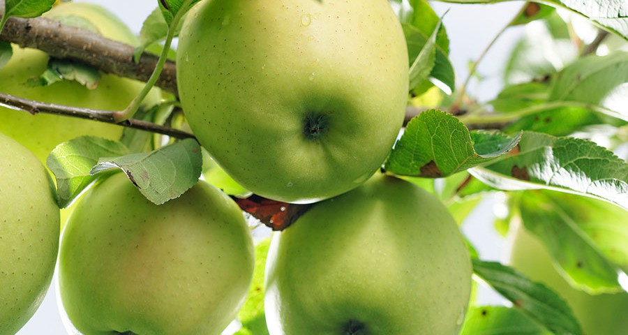 Apfelsorte Golden Delicious